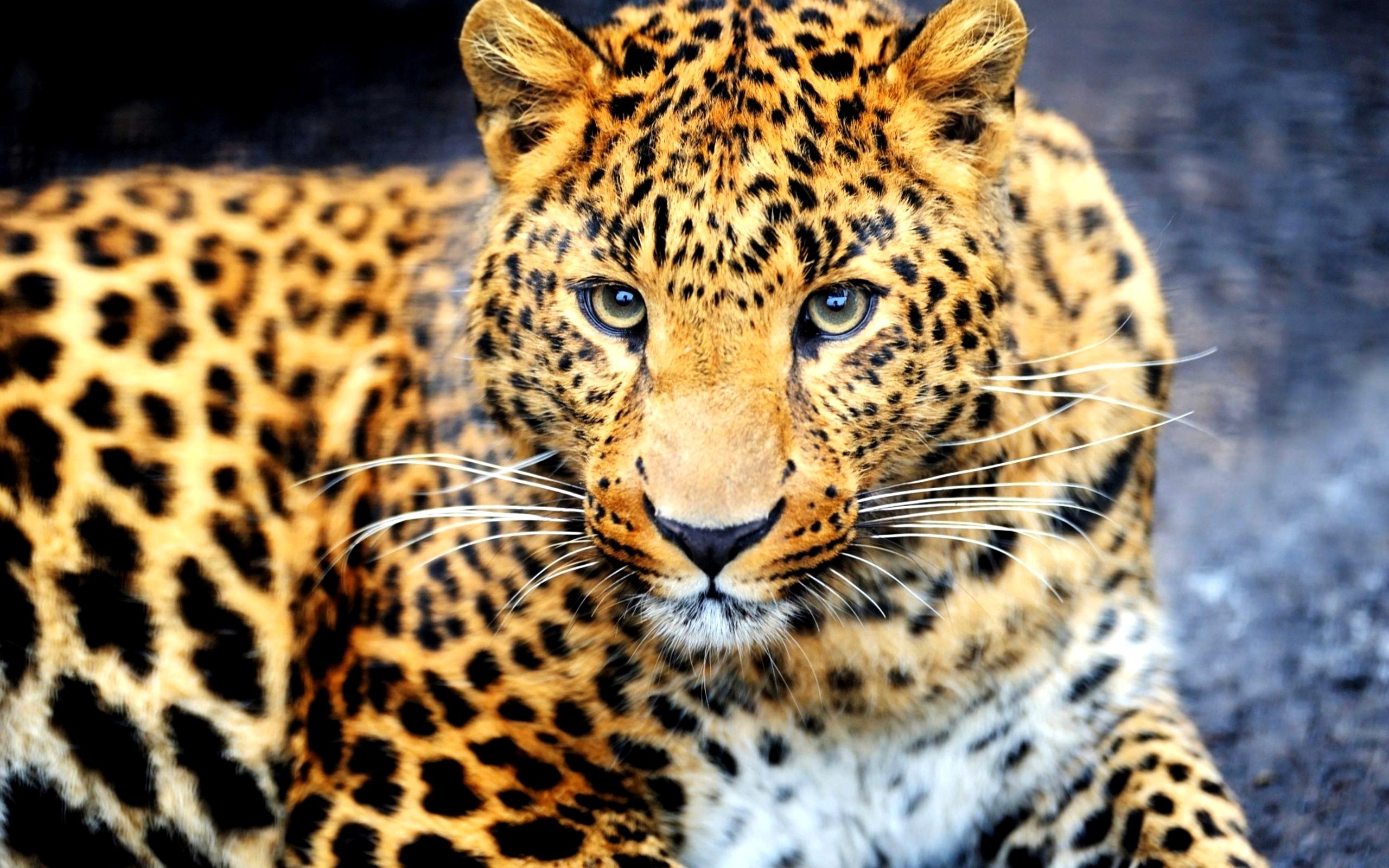 leopard magnifique fond d 39 cran 10 000 fonds d 39 cran hd gratuits et de qualit wallpapers hd. Black Bedroom Furniture Sets. Home Design Ideas