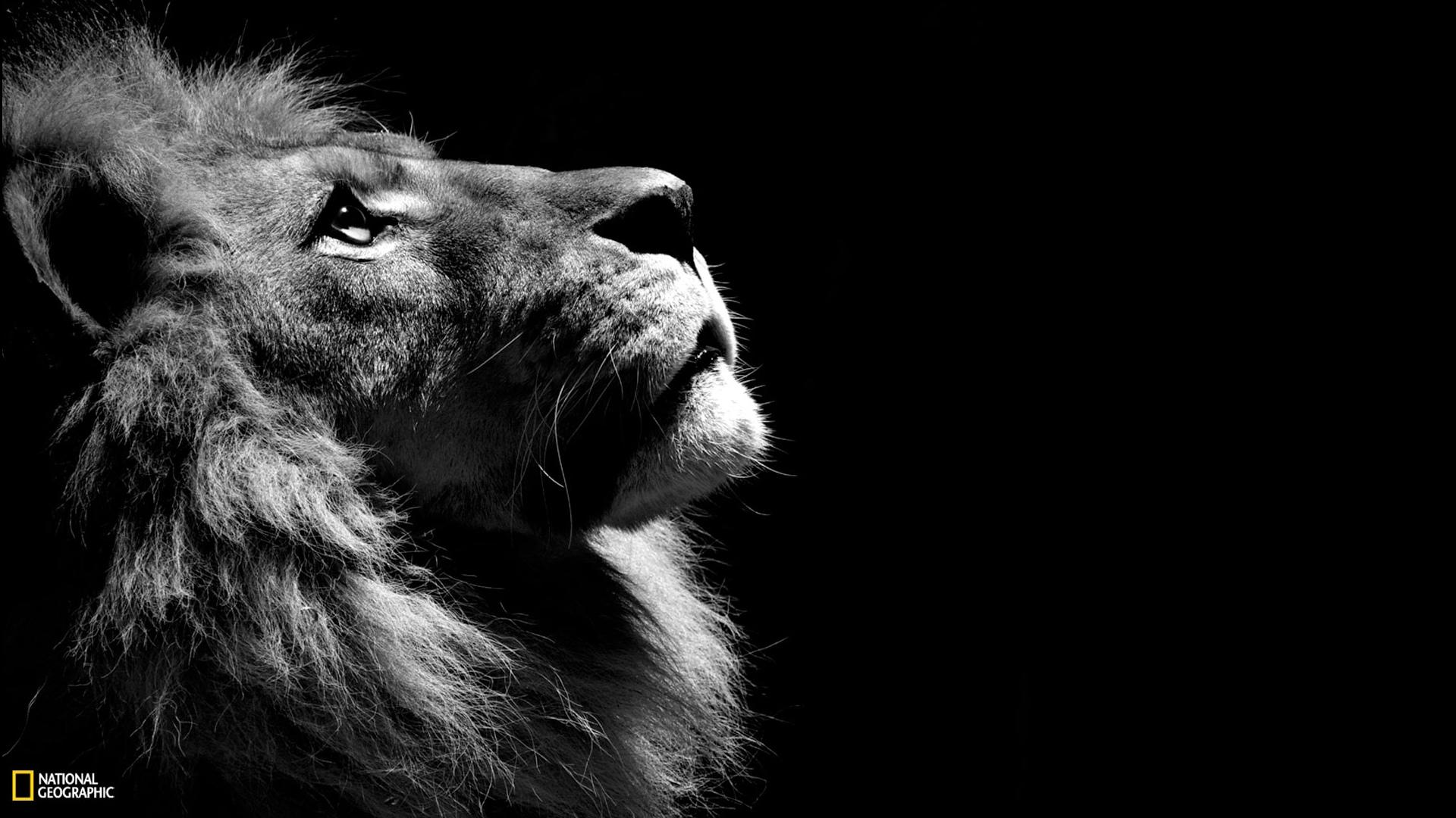 Lion Black White Wallpaper Hd