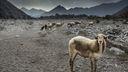 Fond ecran Mouton 1600x900