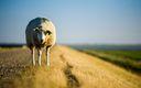 Fond ecran Mouton 1920x1080