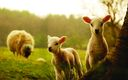 Fond ecran Petits Moutons