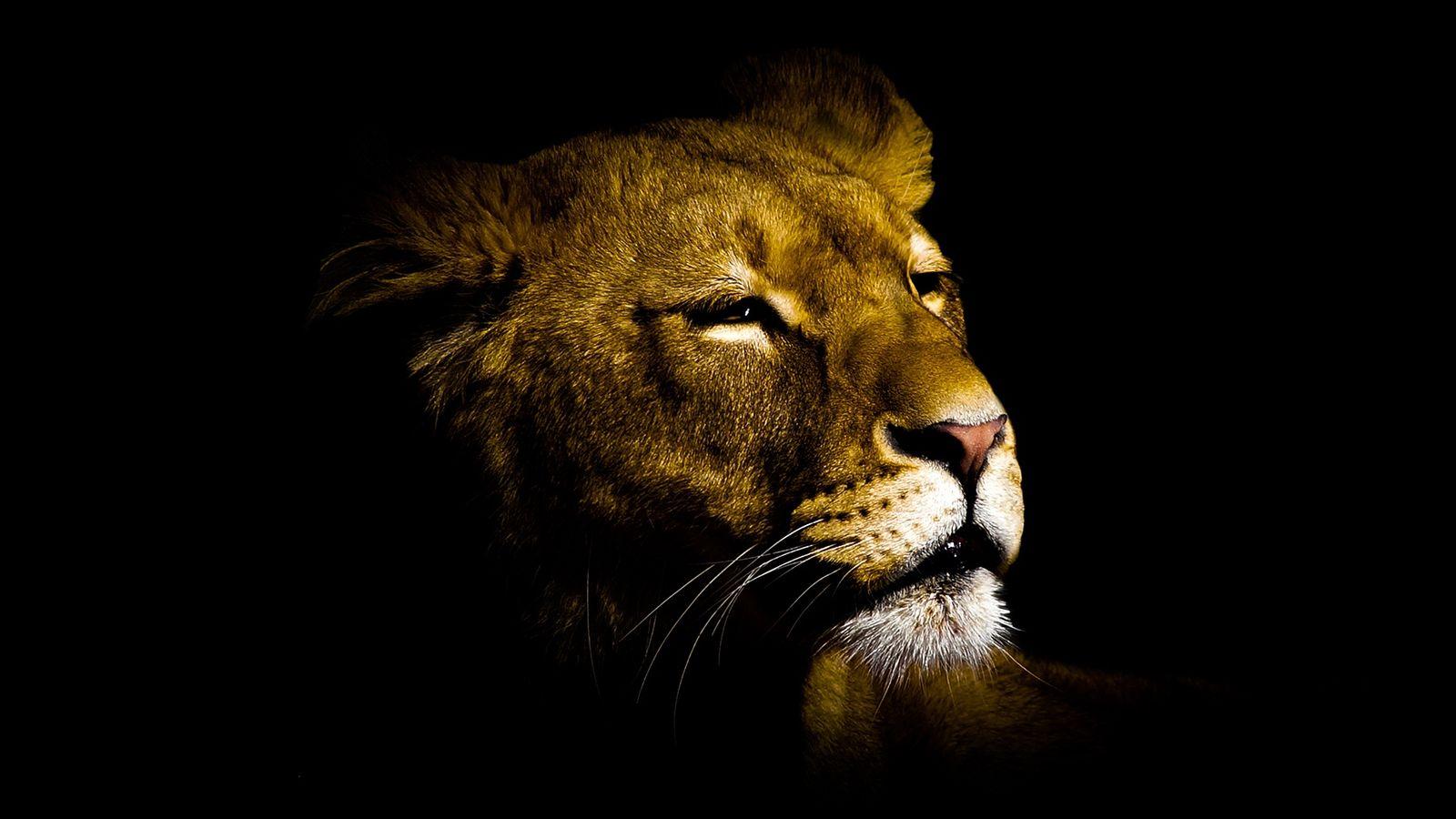 Lion fond ecran rj03 jornalagora for Fond ecran free