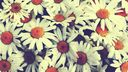 Marguerite - photo retro
